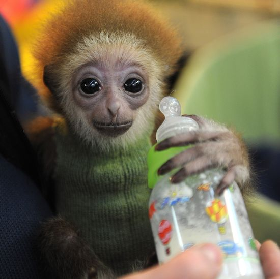 "three-month-old baby white-handed gibbon named ""Knuppy"""